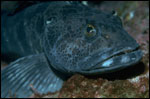 male Lingcod photo