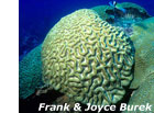 photo of brain coral