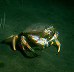 photo of a dungeness crab