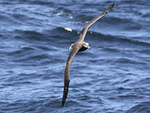 photo of shearwater flying over water