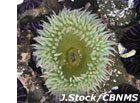 photo of green anemone