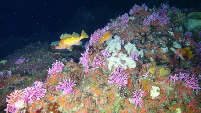 Cordell Bank upper reefs covered with invertebrates