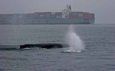 a whale surfaces for air with a container ship in the background