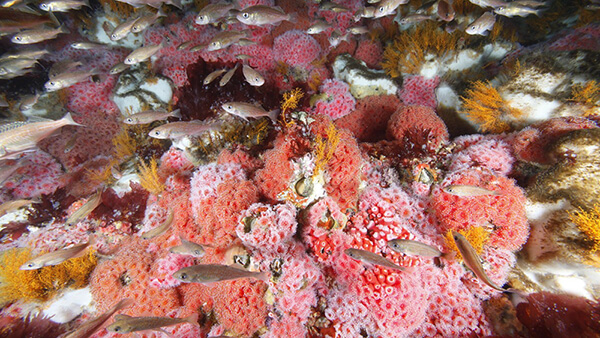 Fish swarm around bright pink corals